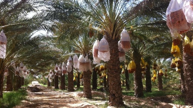 La palmeraie de Tozeur compte 40 000 dattiers. Crédit photo : Zouina @myringtravel